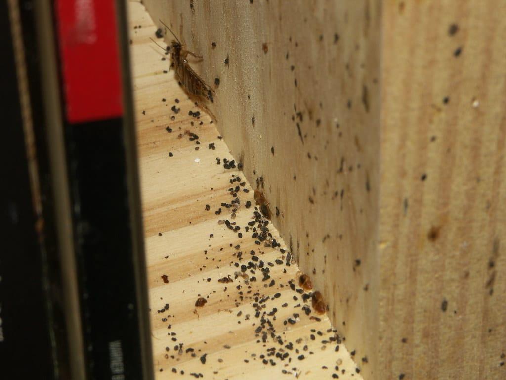 Venelles bedbug